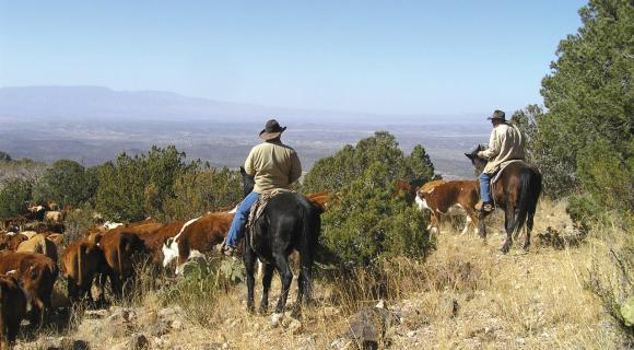 Cattle being herded by cowboys on horseback