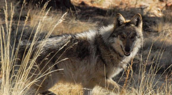 Mexican gray wolf in tall grass