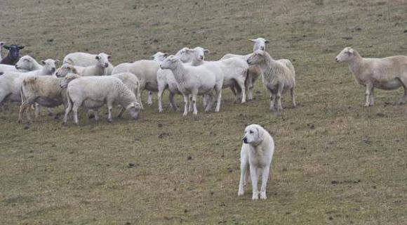 Sheepdog protecting sheep