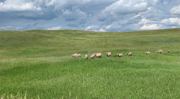 Big horn sheep in parairie grass