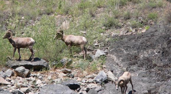 Bighorn sheep in Hells Canyon.