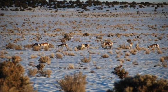 Pronghorn on grasland