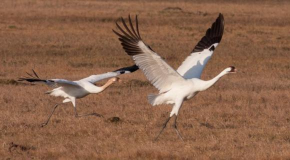 Wooping crane pair taking flight