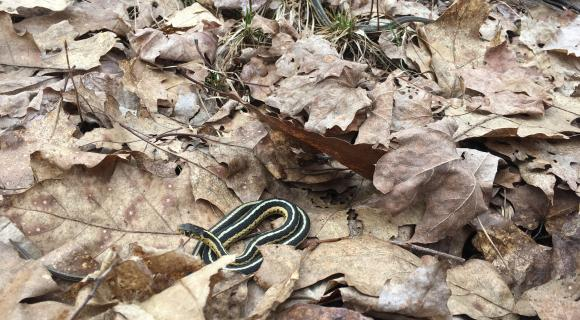 Snakes in leaf litter